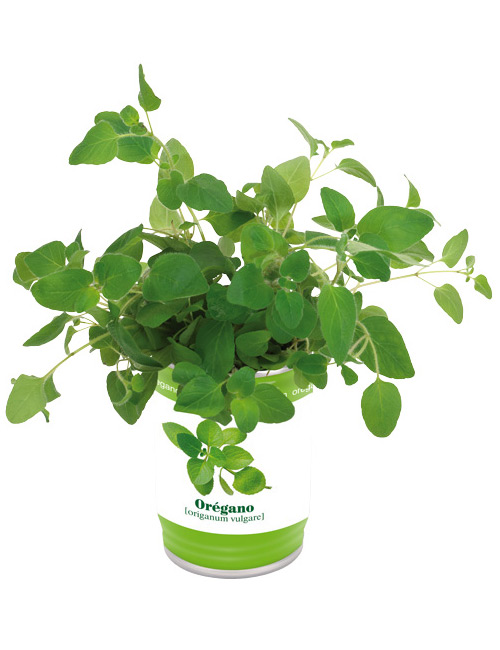 Herbal tin Oregano
