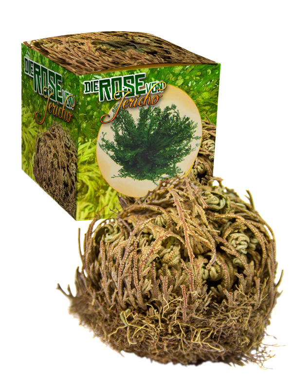 Rose of Jericho in Gift Package